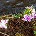 すみれ咲く春の日にの画像