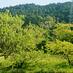 栗の木と、桃の木。黄金週間の空の下で。の画像