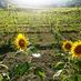 ひまわり畑と、八月の終わりに思うこと。の画像